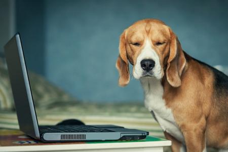 grappig Sleepy beagle hond in de buurt van laptop
