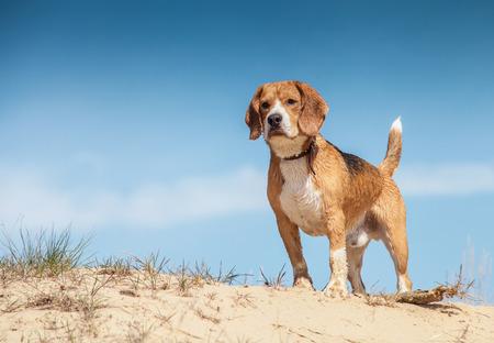 Beagle humide debout sur la colline de sable