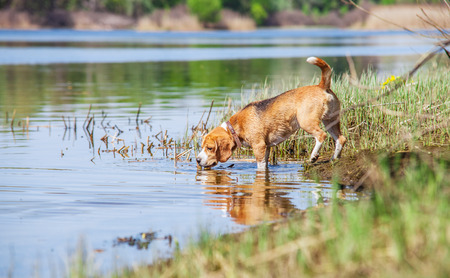 Beagle dog on the forest river coast Stock Photo - 28834499