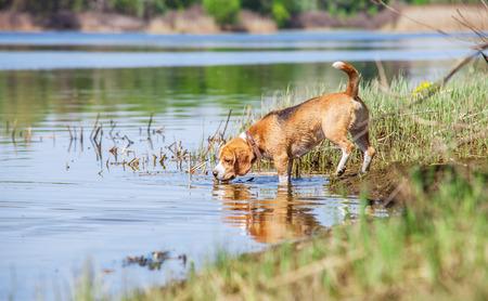 Beagle dog on the forest river coast Stock Photo - 28834499