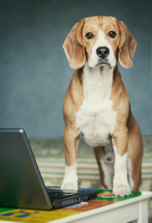 Nosy beagle near laptop photo