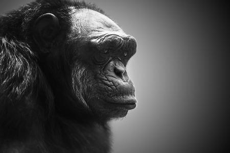 silverback: Gorilla dominate male portrait Stock Photo