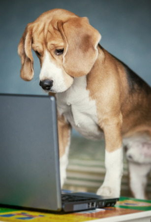 Nosy beagle surfing by internet on laptop photo