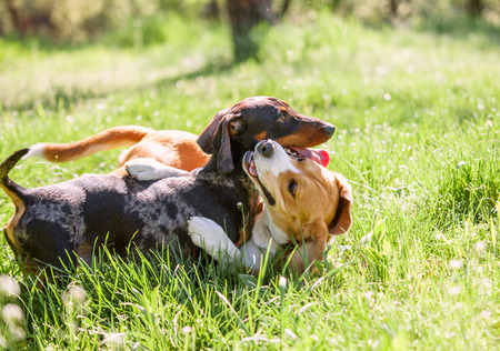 Dachshund and beagle playing together in grass photo