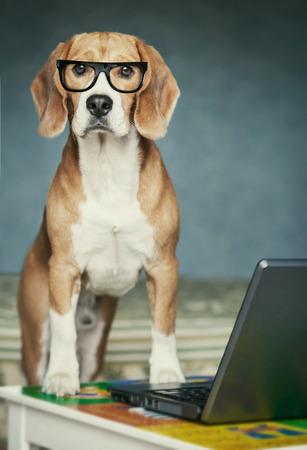 Nosy beagle in glasses near laptop