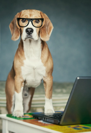 Nosy beagle in glasses near laptop photo
