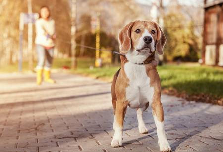 Beagle wandeling op lange voorsprong in de herfst park