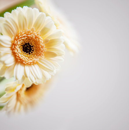 Gerbera background photo