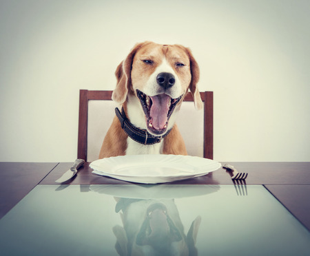 ウェイターを待つ犬疲れてあくびビーグル