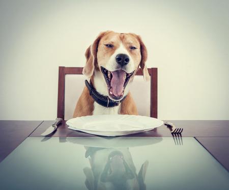 Gähnende Beagle-Hund müde, um Kellner warten