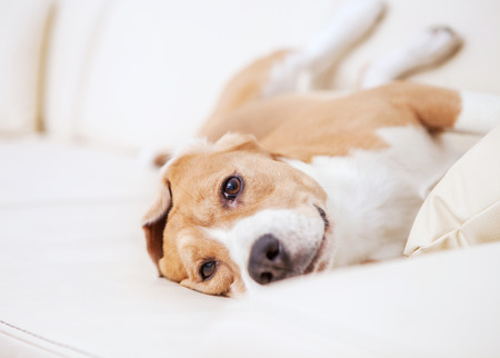 cute: Purebred beagle dog lying on white sofa in luxury Hotel room