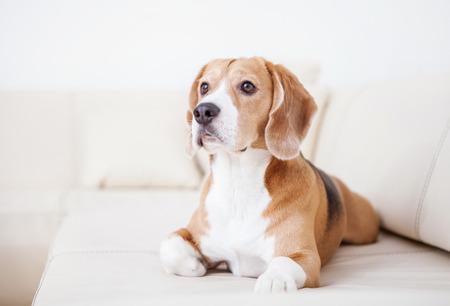 chien: Chien de race beagle couch� sur le sofa blanc dans le luxe H�tel chambre Banque d'images