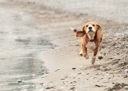 Beagle puppy running on the sea beach Stock Photo