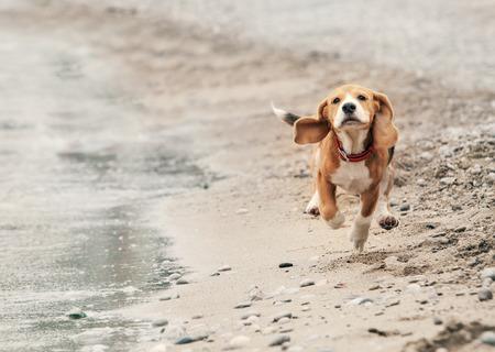 perros graciosos: Cachorro beagle que se ejecuta en la playa del mar