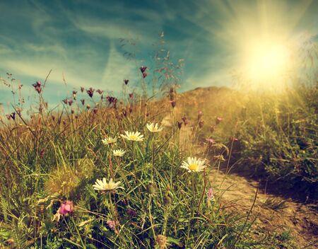 tableland: Daisy flowers on the mountain tableland
