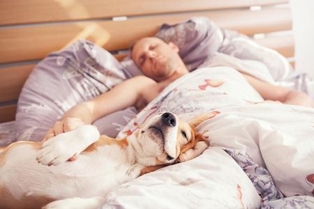 cama: Perro beagle sueño con su dueño en la cama