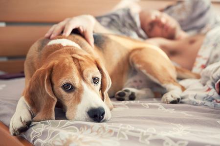 寝ている飼い主のベッドに横たわっているビーグル