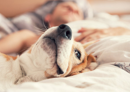 Lazy beagle lying in bed with his sleeping owner