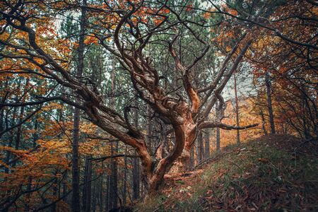 curved: Old tree in autumn forest Stock Photo