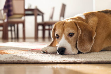 eyes looking down: Beagle dog lying on carpet in cozy home