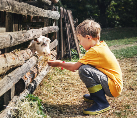 gum boots: Holidays in the country - little boy feeds a goat