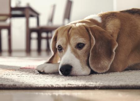 Perro beagle acostado alfombra en la acogedora casa Foto de archivo - 52913642
