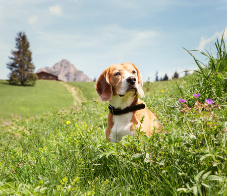 Beagle sitting in high grass on the mountain meadow Stock Photo