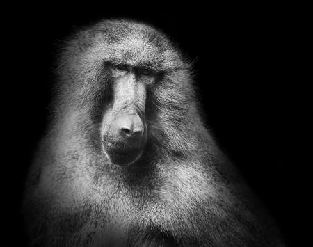 マント ヒヒ猿黒白の肖像画 写真素材