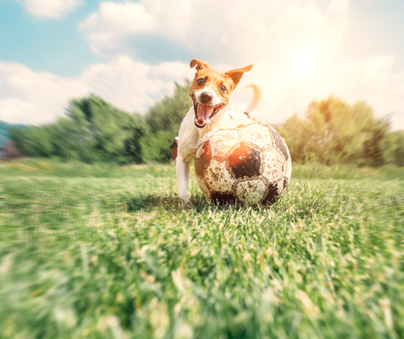 cute puppy: Jack Russell Terrier play with big old ball