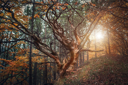 mistic: Old curved tree on autumn forest glade