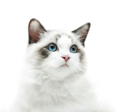 Gatito blanco con los ojos azules retrato