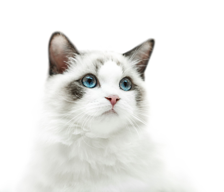 Wit kitten met blauwe ogen portret Stockfoto