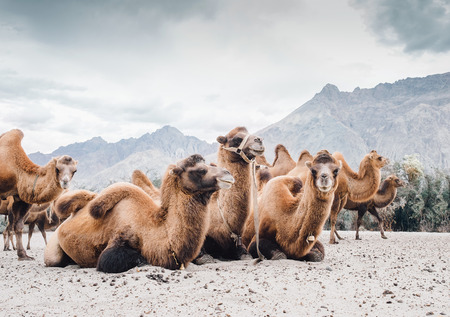 Herd of camels on the sands of Nubra valley, India Stock Photo