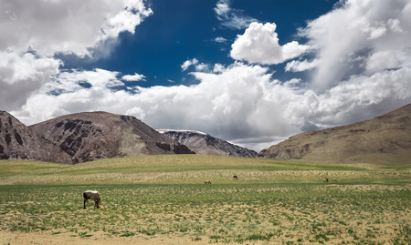 himalayan: Feeding horses in Himalayan Valley