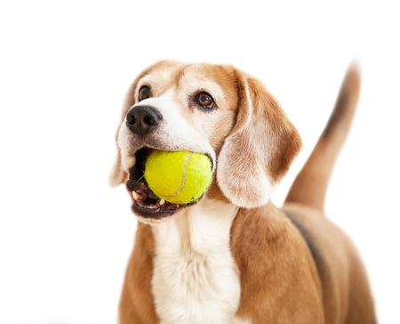 Chien Beagle avec une balle de tennis en côtelettes Banque d'images - 74606761