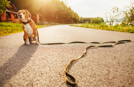 Lost beagle dog sits alone on the road