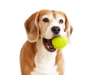 화이트 절연 테니스 공 초상화와 장난이 많은 비글 강아지 스톡 콘텐츠