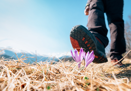 Traveler big boot can step on tender crocus flower on mountain field. Ecology concept image