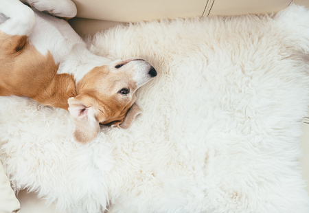 Lazy beagle dog lies on sofa on the natural sheepskin fur Reklamní fotografie - 76801168