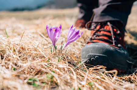 turismo ecologico: Traveler can step on tender crocus flower on mountain field