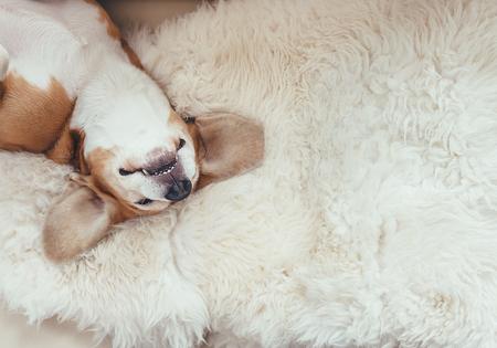 coverlet: Sleeping beagle dog lies on the fur coverlet on sofa Stock Photo