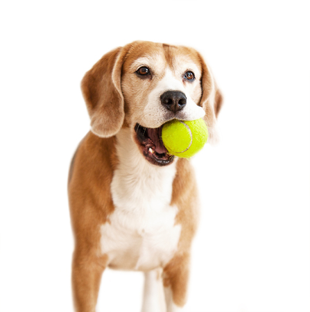 dog isolated: Playful beagle dog with tennis ball portrait isolated on white