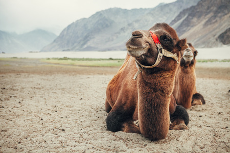 Camels in Nubra Valley, India Stock Photo