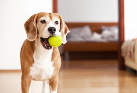 Chien Beagle avec balle de tennis veut jouer Banque d'images - 79765598