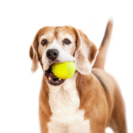 Beagle avec un portrait de balle de tennis isolé sur blanc Banque d'images - 81100489