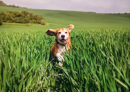 Beagle dog runs in high wet grass