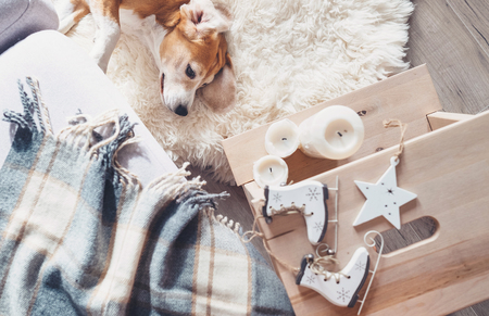 Lazy beagle lies on fur carpet in living room, cozy home christmas atmosphere Stock Photo