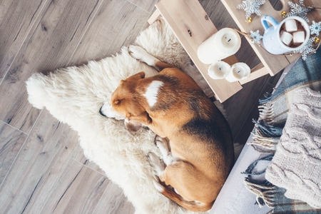 Beagle dog sleeps on fur carpet in living room, cozy christmas time atmosphere