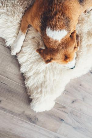 Sleeping beagle on the sheepskin top view image Stock Photo