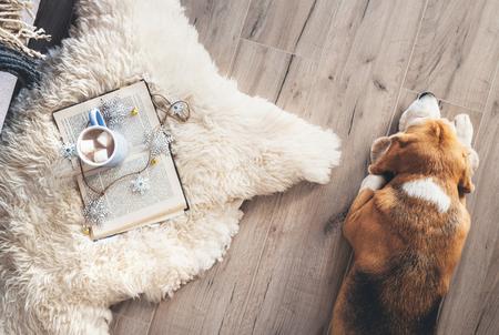 Beagle liegt auf dem Laminatboden in der Nähe des Schaffellteppichs mit Buch und Becher heißer Schokolade Standard-Bild